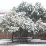 Arbres nevats. Per Alexandra